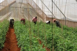 Embu County Government supports greenhouse farming